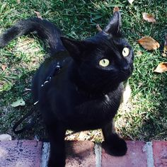 I was a bit naughty yesterday and ran off leash and all through my neighborhood. So now they won't be letting me go outside for a while.  #sorry #sad #grounded #outdoors #outside #nature #naughty #kitten #kittens #blackcat #rescuecat #cat #cats #kitty #kittycat #catstagram #catsofinstagram #kittensofinstagram #blackcatsofinstagram #aubrey #aubreythekitten by aubreythekitten