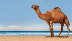 How Much Water Can a Camel Drink? | Animals - mom.me