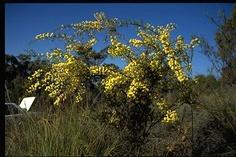 Small/Medium Shrub Understorey - Bird Attracting - Acacia Genistifolia (Spreading wattle)