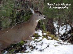 2010: A Graceful Doe in Southeast Alaska During the Wintertime...