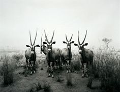 Bid now on Gemsbok Diorama by Hiroshi Sugimoto. View a wide Variety of artworks by Hiroshi Sugimoto, now available for sale on artnet Auctions. Japanese Photography, Popular Photography, Contemporary Photography, Animal Photography, White Photography, Photography Portraits, Hiroshi Sugimoto, Digital Museum, Photo Look