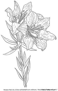 lilium philadelphicum or wild orange red lily coloring page from lilies category select from 24848 printable crafts of cartoons nature animals - Lily Coloring Pages