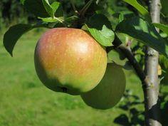 Malus Orlovim Siloposken Herkku Omenapuu