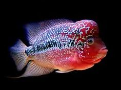 CROSSES BETWEEN KING KONG PURPLE PARROTS AND TEXAS BLUE CICHLIDS makes the Flowerhorn