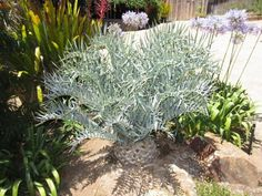 Encephalartos Non Flowering Plants