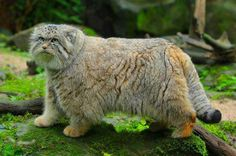 Pallas's cat, also called the manul, is a small wild cat of central Asia. The species is negatively affected by habitat degradation, prey base decline, and hunting, and has therefore been classified as Near Threatened by IUCN since 2002.