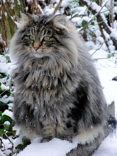 norwegian forest cat norwegian cat More - cat Rare Cat Breeds, Rare Cats, Pretty Cats, Beautiful Cats, Animals Beautiful, Chat Bizarre, Grand Chat, Chat Maine Coon, Gato Grande