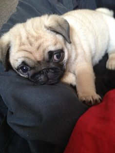 Dying from cuteness! (calithepug)