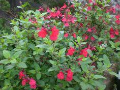 salvia greggii red | Salvia Greggii White