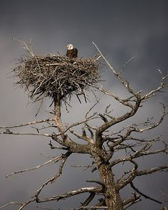 Bald Eagle. CAN BE SEEN ON KENTUCKY LAKE AND DUCK RIVER IN TENNESSEE  .