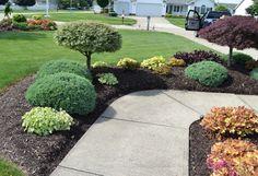 Evergreen Azaleas in a Landscape Design.