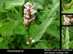 Perzikkruid - Persicaria maculosa. - Foto gemaakt door pinterester Adri v.d.S - Bord Wilde Rode bloemen - Red wildflowers