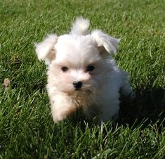 oy! next dog i get will for sure be a teacup maltese.... Rilo wants a baby sister anyways...