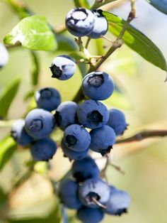 How to plant Blueberries in a pot.