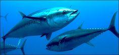 atun rojo pesca en mar espesca.es Top 10 de agua salada