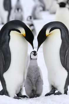 Emperor Penguins with chick Penguins mate for life and propose by giving each other one pebble, Dr Oz show 04-05-13