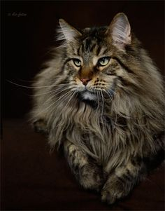kio-fotos-mainecoons. This guy looks like my Brody.. I miss him. www.mainecoonguid...