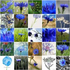 """Cornflower mosaic,"" by Raincloud☁, via Flickr -- Click through for links to each photo."