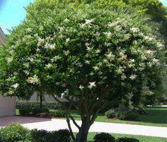 Tree land Nursery - Dallas, Texas - Wax Leaf Ligustrum Tree