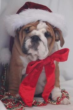 ❤ bulldog all dressed up in a bow and santa hat!