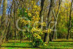 Qdiz Stock Photos | Autumn Landscape with Young Yellow Maple in Park,  #autumn #background #beautiful #beauty #blue #branch #colorful #day #dry #environment #fallen #foliage #golden #grass #green #idyllic #land #landscape #leaf #leaves #maple #multicolored #nature #nobody #outdoors #park #plant #scenery #scenic #season #sunlight #sunny #tranquil #tree #view #weather #wood #yellow