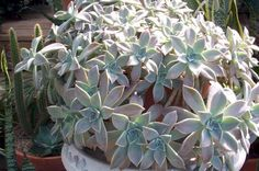 Ghost Plant, Mother-of-Pearl Plant,Graptopetalum paraguayense, Sedum weinbergii, copyright © almostedenplants.com