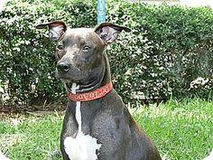 St Petersburg, FL - Italian Greyhound/Labrador Retriever Mix. Meet Willow ~ Extraordinary!, a dog for adoption. http://www.adoptapet.com/pet/13518400-st-petersburg-florida-italian-greyhound-mix