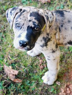 great dane/ boxer mix puppy