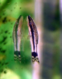 Otocinclus affinis. Have 4 in my aquarium.