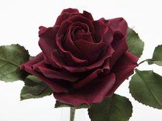 Dunkelrote Rose...