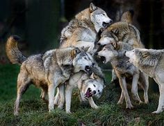 pictures of wolf packs   Wolf Pack