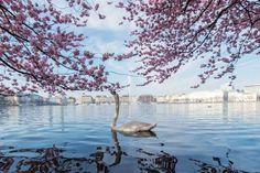 Alster and Swan