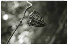 """Saatchi Art Artist John Bussey; Photography, """"Butterflies mating"""" #art"""