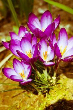 Jeśli wiosna to musza być krokusy!! ;)