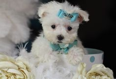 Teacup Maltese puppies for Sale Florida
