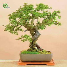Home Garden Plants Hawthorn Seeds,  Crataegus tree, bonsai Seeds non-transgenic Edible Fruit seed,30pcs Free Shipping G15 #Affiliate