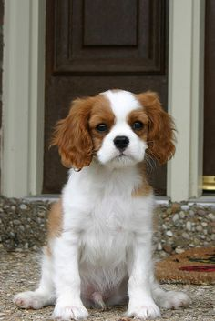 Who doesn't love a Cavalier King Charles Spaniel?