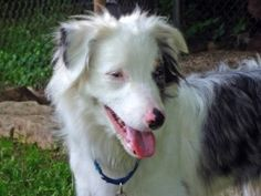 ASRM 0172 Cash is an adoptable Australian Shepherd Dog in Oconomowoc, WI. Cash is a handsome Double Merle Australian Shepherd male who weighs 20 lbs. at 8 months of age. Cash is completely deaf but he...