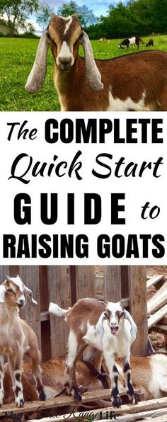 Do you raise farm animals on your homestead? Do you want to learn how to begin raising goats on your farm? This complete quick start guide to raising goats features a step by step tutorial to adding goats to your homestead. Keeping Goats, Raising Goats, Raising Rabbits, Goat Shelter, Goat Pen, Goat Care, Dwarf Goats, Goat Farming, Baby Goats