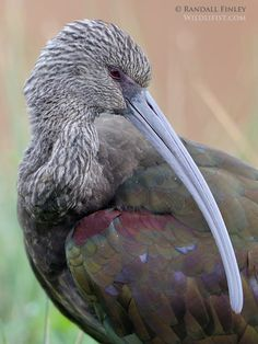 White-Faced Ibis  by Randall Finley on 500px