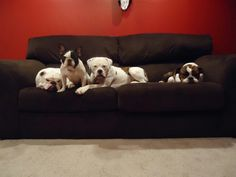 My dream life! An English, French, and two American Bulldogs. My future life!