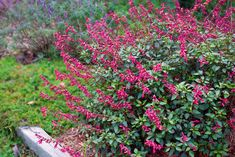 'Wendys Wish' - Salvia hybrid - Blooms late spring to fall * Full sun * 2-3 ft tall and wide * Attracts butterflies and hummingbirds
