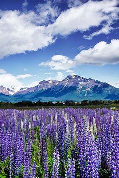 Lupinus growing near El Chaltén, a mountain village in Santa Cruz Province, Argentina.