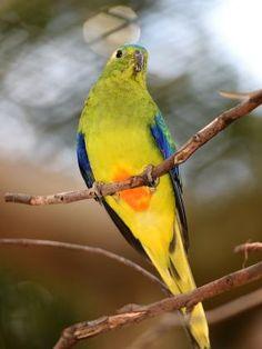 ORANGE BELLIED PARROT – AUSTRALIAN ENDANGERED SPECIES