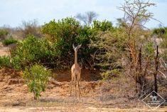 Où dormir dans le parc national Kruger ? - My Wildlife Mombasa, Lonely Planet, Kenya, Parc National Kruger, Safari, Photo Animaliere, Dan, Wildlife, Organiser
