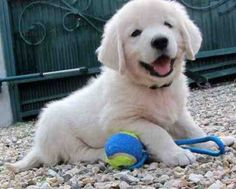 When I was little, this was my dream puppy.. Still is! They're just so cute and fluffy!!!
