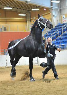 Смешные Лошади, Красивые Лошади, Милые Животные, Тяжеловозы, Лошади Першерон, Лошади, Импрессионизм, Конский Волос, Ломовая Лошадь