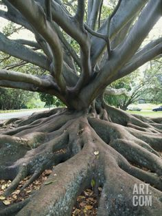 Trunk and Roots of a Tree in Domain Park, Auckland, North Island, New Zealand, Pacific Photographic Print by Jeremy Bright at Art.com