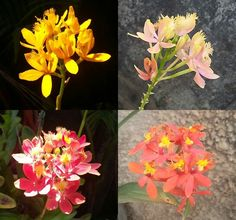 Epidendrum híbrido Orchid Care, Exotic Plants, Beautiful Flowers, Scary, Nature, Painting, Plants, Naturaleza, Colors