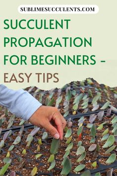 Succulent Propagation for Beginners. Succulents can be grown from a seed produced by a flower, a much more common method of growing new succulents is through propagation. Succulents have evolved several different methods of asexual reproduction that are not found in most other plants. Check this pin for a complete guide on succulent propagation. #succulentpropagation #succulent #succulenttips #succulentforbeginners Succulent Care, Succulent Gardening, Container Gardening Vegetables, Succulents In Containers, Container Flowers, Container Plants, Organic Gardening, Vegetable Gardening, Flowering Succulents